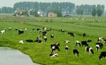 Koeien in Moordrecht die je tegenkomt tijdens de solextour
